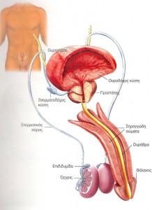 Το γεννητικό σύστημα στον άνδρα